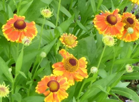 Bright daisy like petals in orange and yellow wit deep rust center on stems about 12 inches
